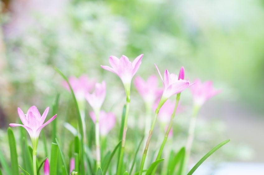 pink crocus