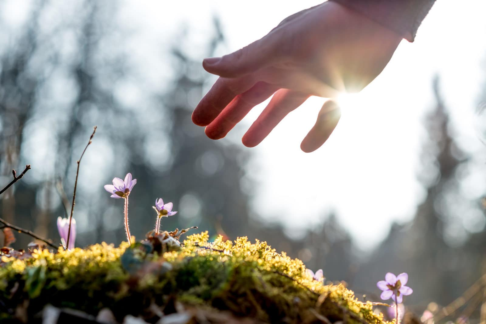 Hand above a mossy rock with new delicate blue flower
