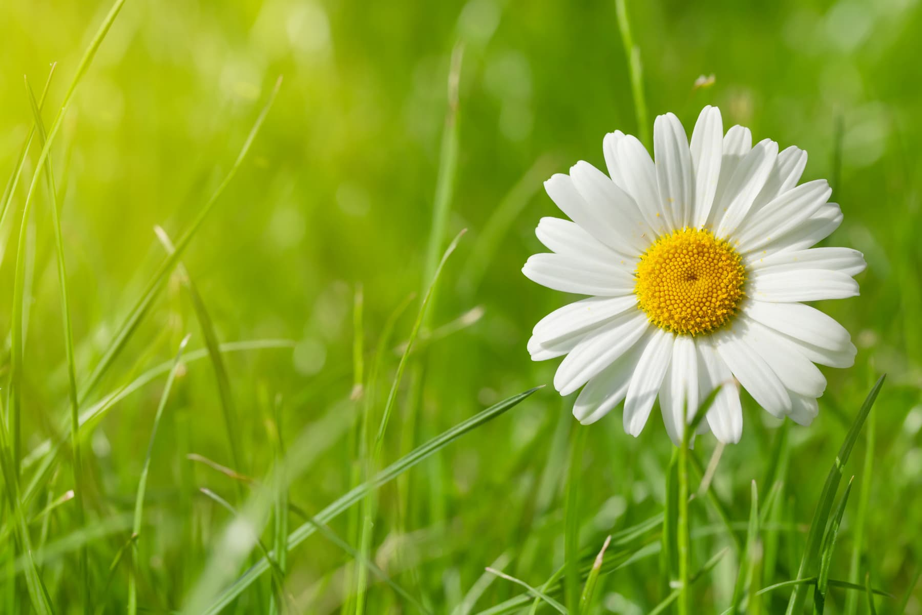 Chamomile flower on grass field on sunny summer day. View with copy space