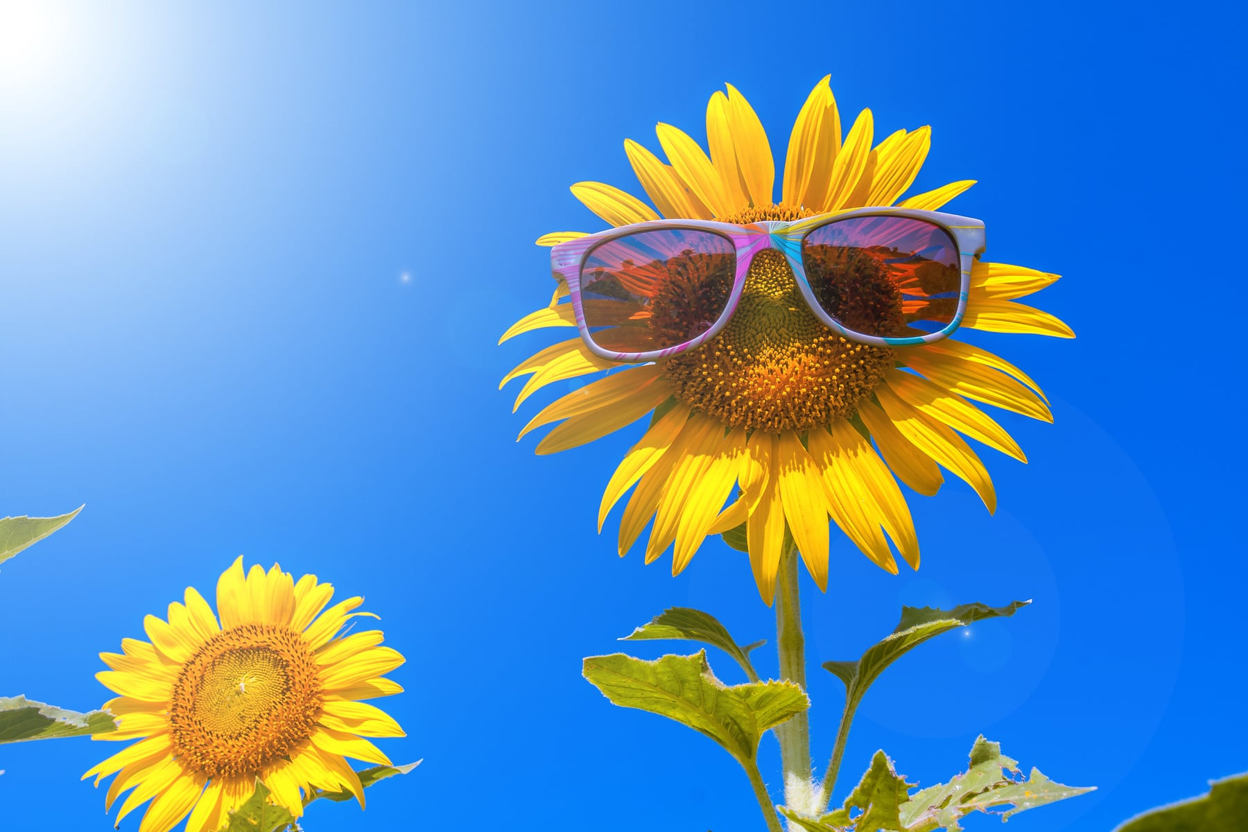 happy sunflower on day noon with blue sky abstract background to happiness of nature.